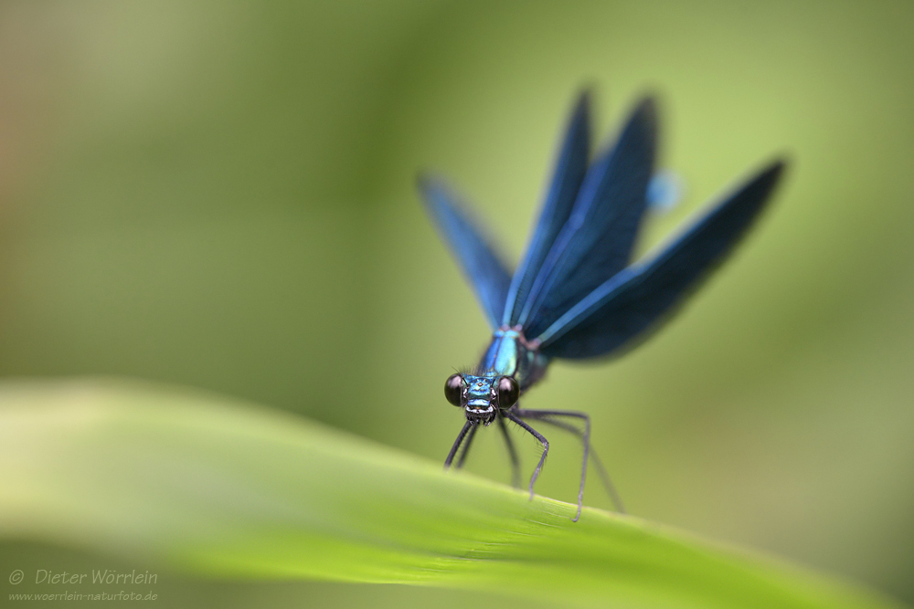 BlaufluegeligePrachtlibelle_D180617_9801