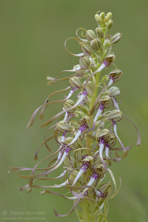 Bocks-Riemenzunge (Himantoglossum hircinum)