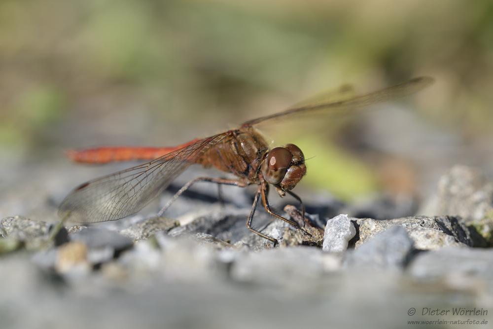 Gemeine Heidelibelle (Sympetrum vulgatum)