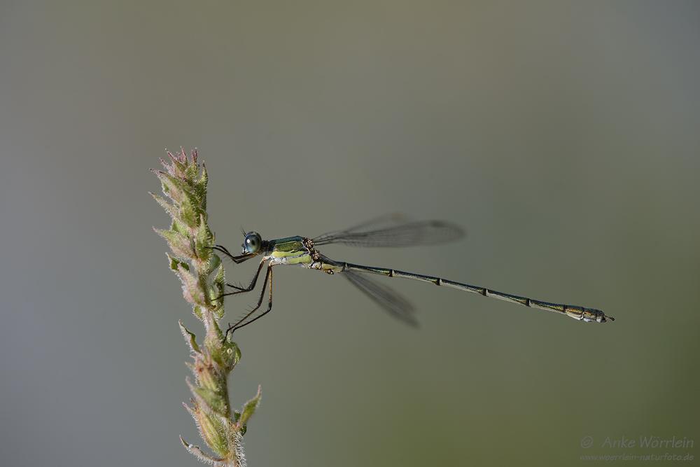 Gemeine Weidenjungfer (Chalcolestes viridis)