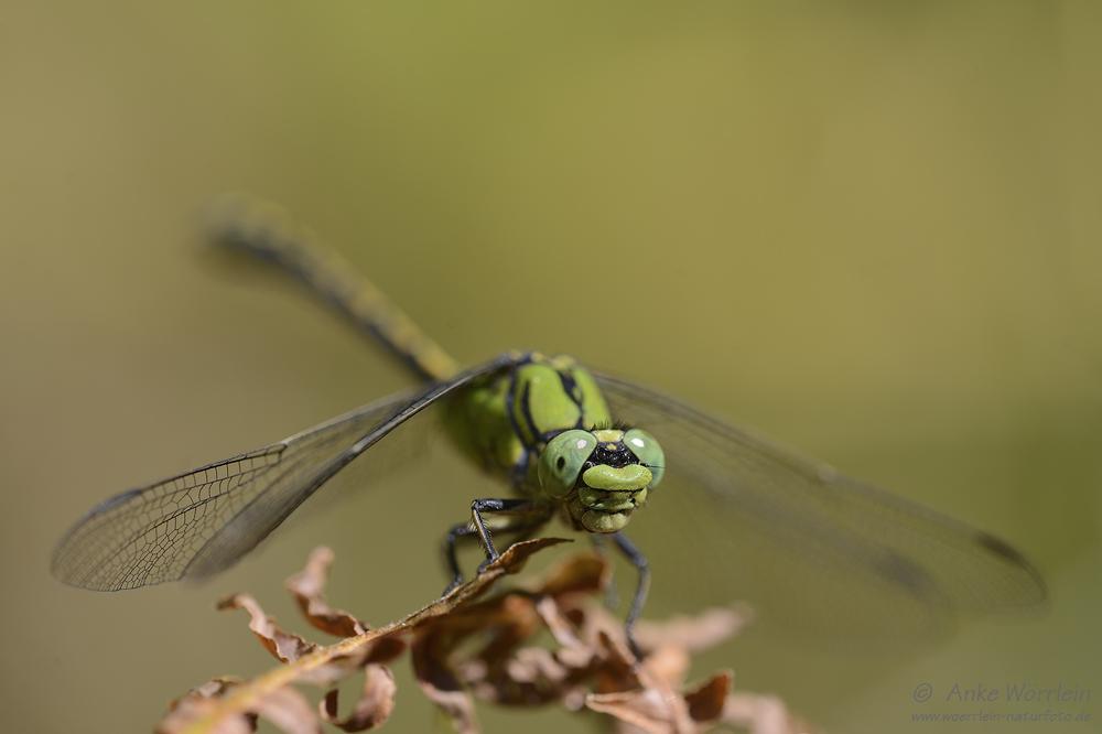 Grüne Flussjungfer (Ophiogomphus cecilia)