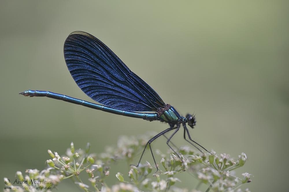 Blauflügel-Prachtlibelle (Calopteryx virgo)