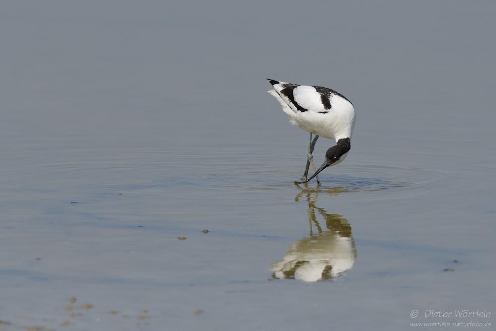"""""""S"""" wie Säbelschnäbler (Recurvirostra avosetta)"""