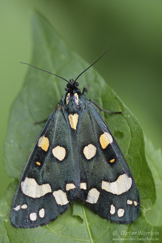 Schönbär (Callimorpha dominula)