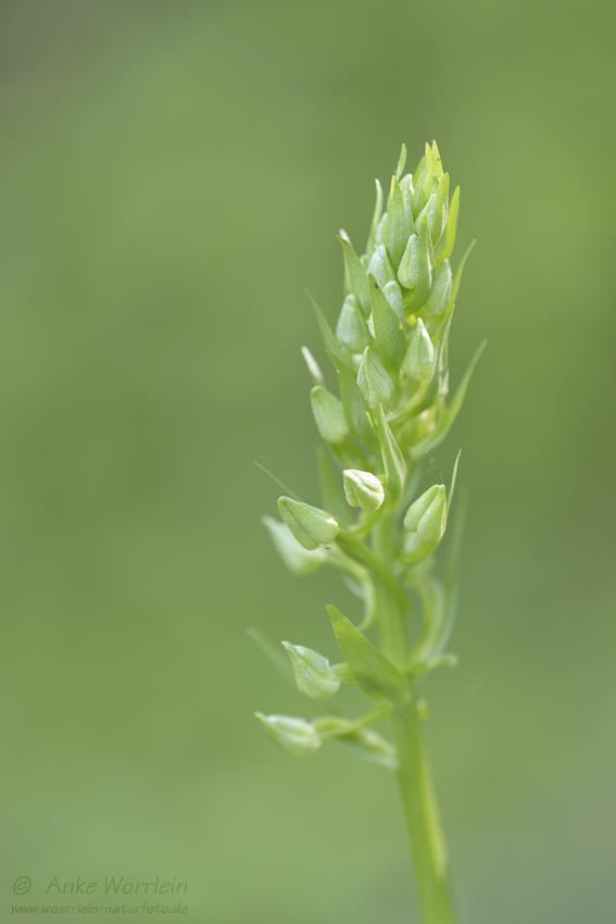 Weißes Waldvoegelein (Cephalanthera damasonium)