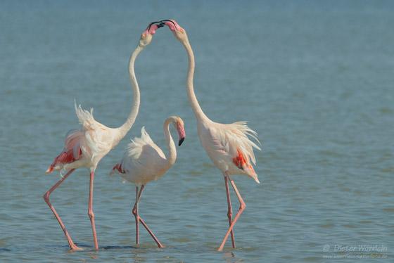Flamingos_13830L