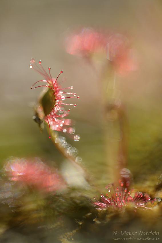 Mittlere Sonnentau (Drosera intermedia)
