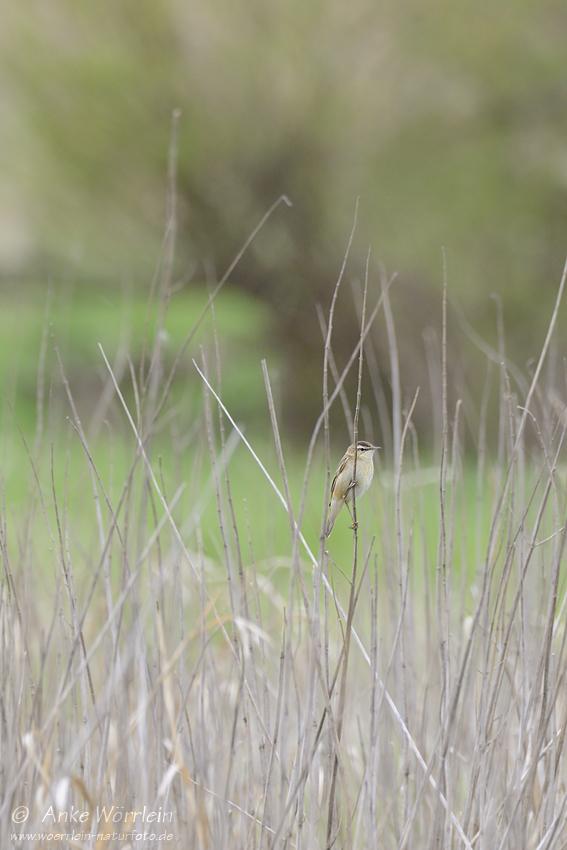 Schilfrohrsänger (Acrocephalus schoenobaenus)