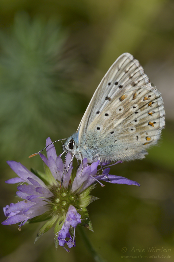Wundklee-Bläuling (Polyommatus dorylas)